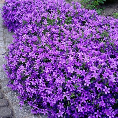 best purple cover 25 best ideas about ground cover plants on
