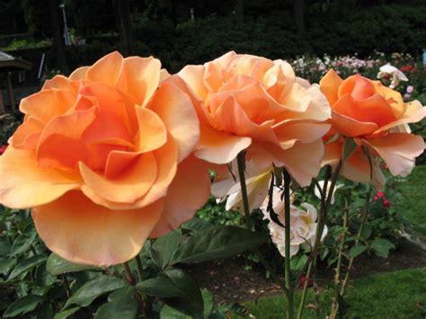 rose themed landscape backyard landscaping themed garden ideas install it direct