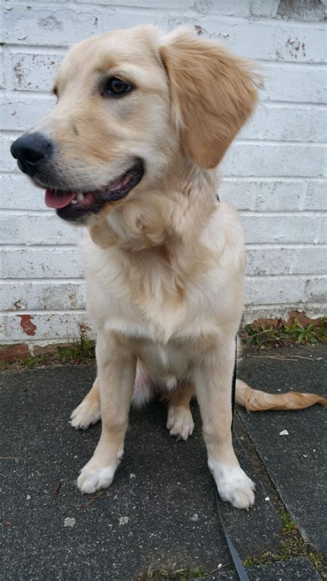 1 month golden retriever golden retriever puppy 7 months south east pets4homes