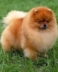 mini pomeranian lifespan 1000 images about pomeranians on pomeranian pomeranians and pom