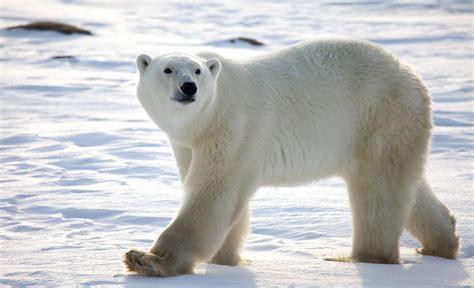 oso polar oso polar 080506902x los osos polares son en realidad negros