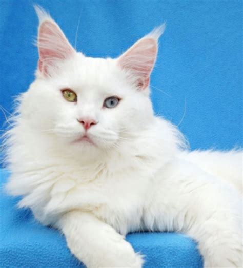white cat with odd eyes 40 very beautiful white maine coon cat photos