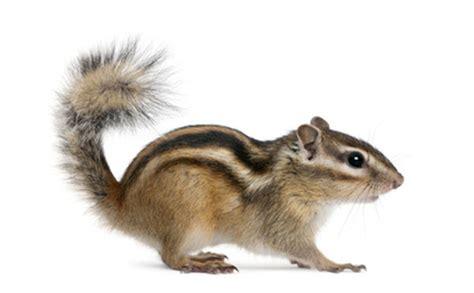 scoiattolo giapponese gabbia burunduk medianauka pl