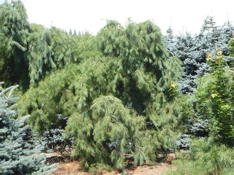 top 28 weeping pine trees pine and form of on pinterest don t crawl let em weep white pine
