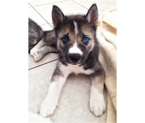 husky puppies for sale in orlando beautiful wolves and husky puppies for sale on