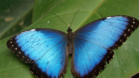 butterfly wallpaper for macbook 2560x1440 blue butterfly desktop pc and mac wallpaper