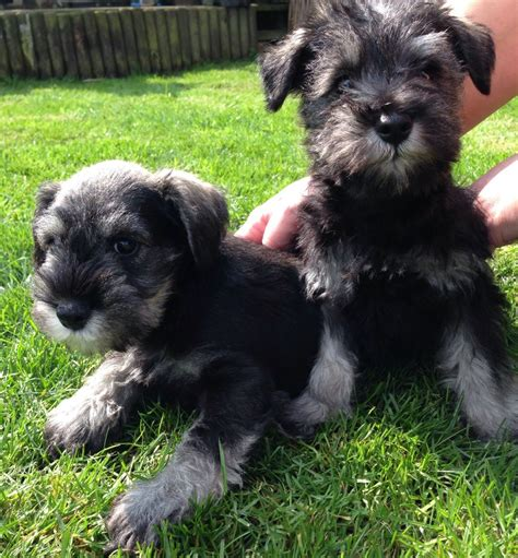 schnauzer puppies for sale kc reg fully vaccined ready now stunning mini s peterborough cambridgeshire