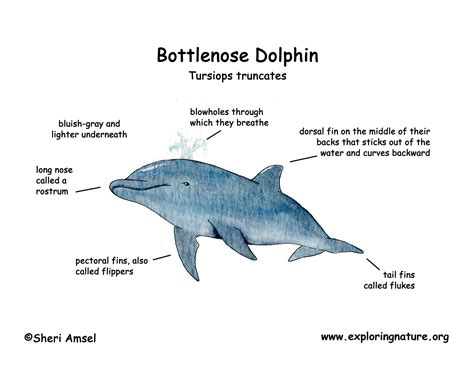 bottlenose dolphin cycle diagram dolphin cycle diagram quotes