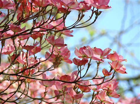 dogwood flowering trees pink dogwood flowers baslee troutman photograph by baslee troutman