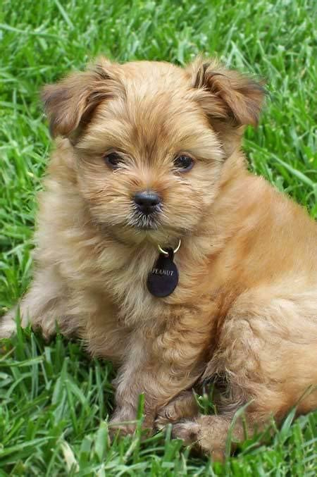 pomeranian and yorkie mix puppies peanut the yorkie pom mix puppies daily puppy