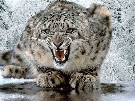 Snow Leopard   Fun Animals Wiki, Videos, Pictures, Stories