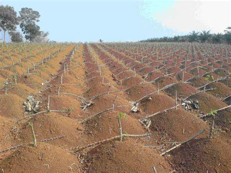 Bibit Ubi Racun gigante mandioca planta 231 227 o projeto projetos de agricultura