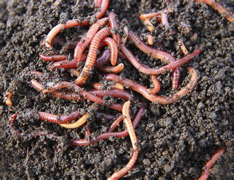 worms in let composting worms lend a countryside network