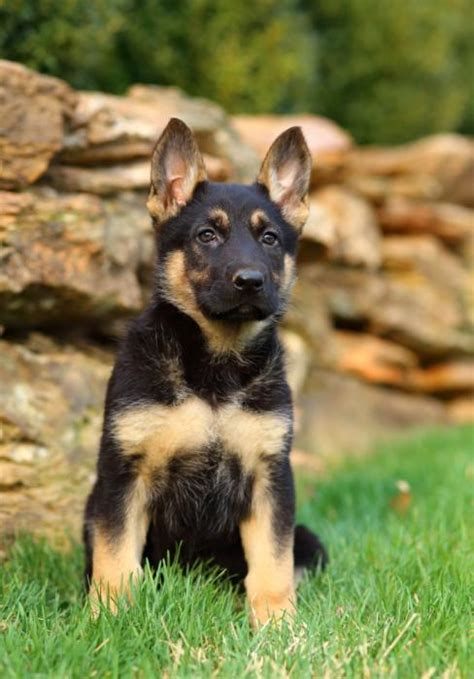 german shepherd puppies for sale in new mexico handsome stocky german shepherd pups craigspets