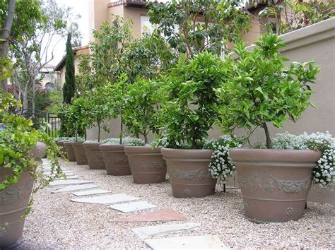Trees For Patios by Side Yard Potted Fruit Trees Future Garden
