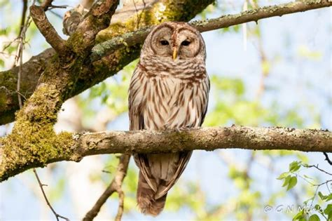 barred owls at hayes nature preserve in north alabama fm