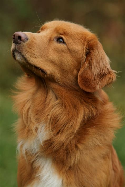 duck golden retrievers scotia duck tolling retriever smallest of the retrievers bred mainly for