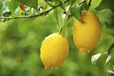 limoni in vaso concimazione coltivazione limoni domande e risposte orto e frutta
