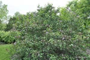 Green Leaf Flowers - syringa vulgaris albert f holden the site gardener