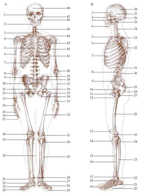 anatomia umana immagini organi interni grande disegno corpo umano organi interni gf85 pineglen