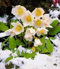fiori dicembre il fiore di dicembre rmfonline