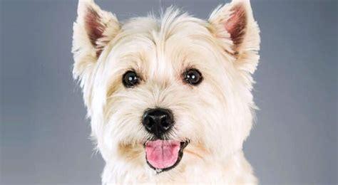 west highland white terrier alimentazione west highland white terrier carattere e informazioni sul