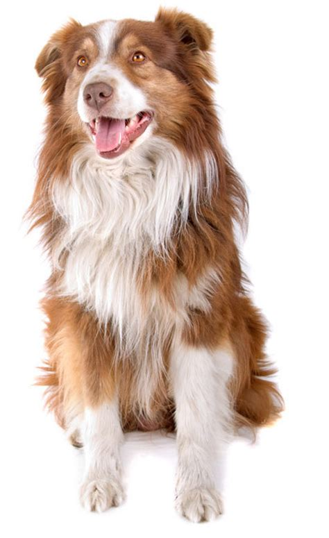 australian shepherd house dog australian shepherd information facts pictures training and grooming