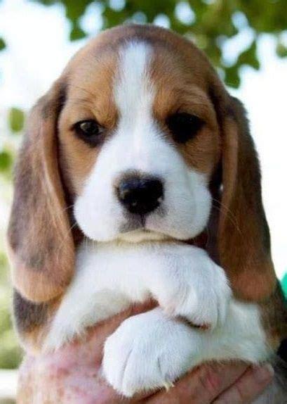 cutest puppy breeds 25 best ideas about cutest breeds on puppies puppies a puppy and puppies