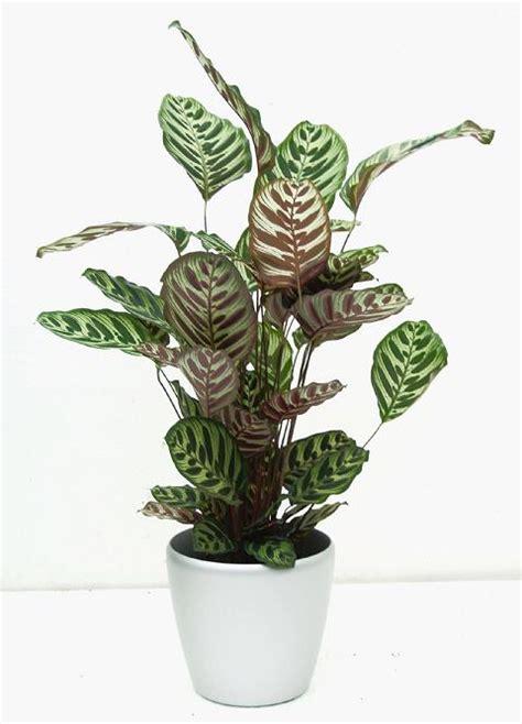 plants that need no light 7 kwiat 243 w calathea kalatea doniczkowa pielęgnacja