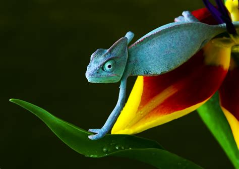 do change color why do chameleons change their colors wonderopolis