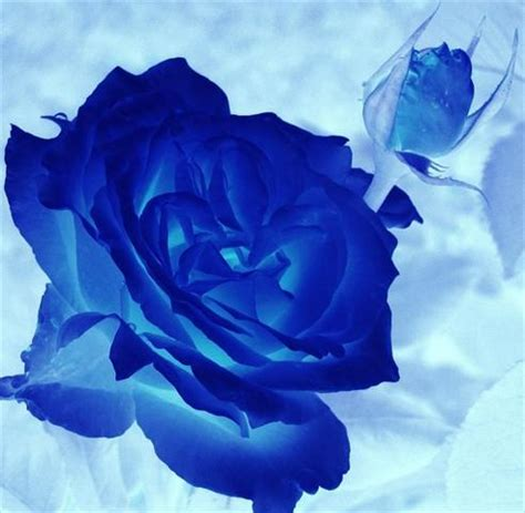 imagenes de flores azules brillantes imagenes de rosas azules brillantes imagui