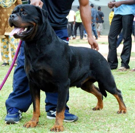 serbian rottweiler rottweiler puppies for sale dr sebastin 1 4830 dogs for sale price of puppies