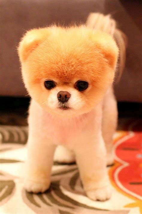 pomeranian puppies that look like teddy bears 15 puppies that could be mistaken for teddy bears