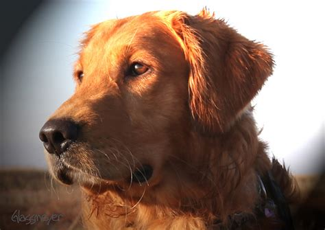 what is a field golden retriever great look field golden retriever quite ironically i wa flickr photo