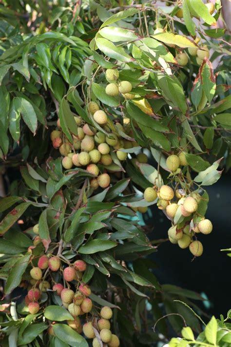 lychee fruit inside the 25 best lychee tree ideas on pinterest lychee fruit