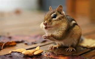 Small Desktop Free Chipmunk Small Squirrel Like Animal Hd Wallpaper High