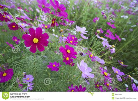 cosmos flowers stock photo image 49057485