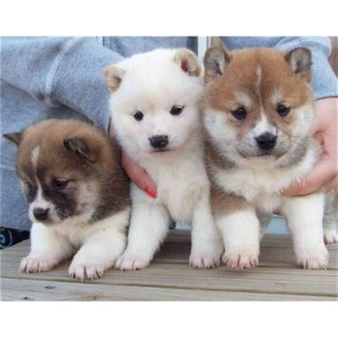 Shiba Inu Also Search For Shiba Inu Puppies Animals