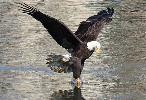 bald eagle walking conowingo dam announces winners of fourth annual bald
