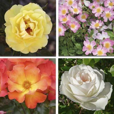Mawar Moss x pemasaran makalah bunga mawar