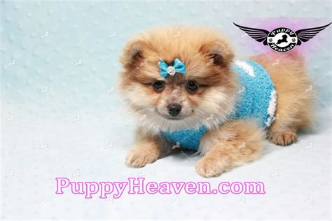 pomeranian puppies los angeles armani teacup pomeranian puppy in los angeles found a