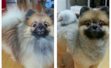 pomeranian with no hair these pets look adorable in their new haircuts cuteness overflow