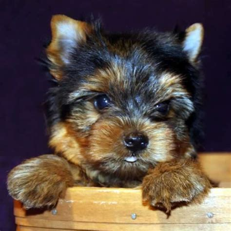 yorkie clothes for sale teacup yorkie boy puppy
