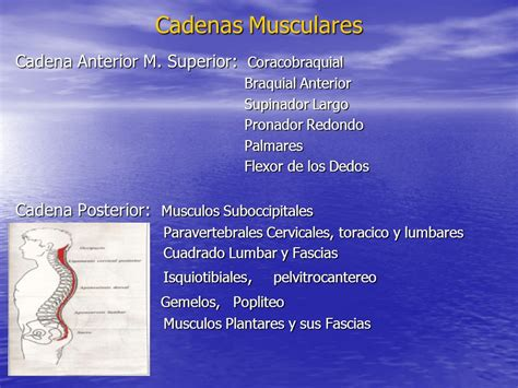 cadenas musculares anteriores postura ppt descargar