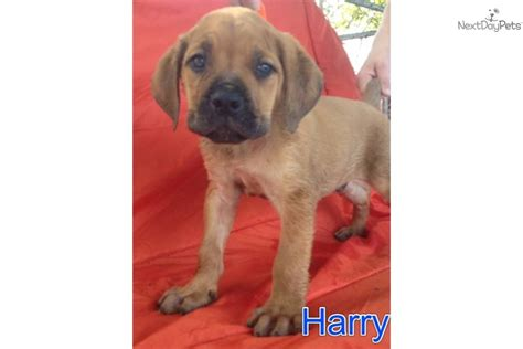 boerboel puppies for sale in pa for sale for 800 boerboel south mastiff puppies for sale