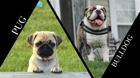 bulldog vs pug pug vs bulldog which is best for you barkblaster