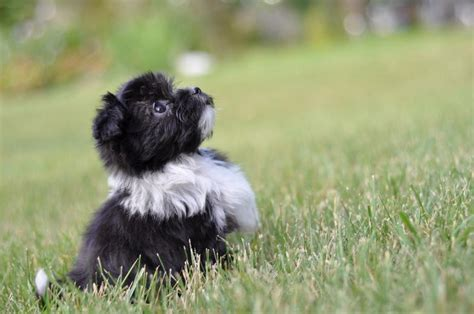 havanese weight range havanese breed