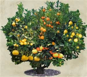 fruit salad tree pin by gibson on garden