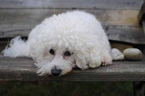 Nonworking Types Of Dogs With Curly Hair Cuteness