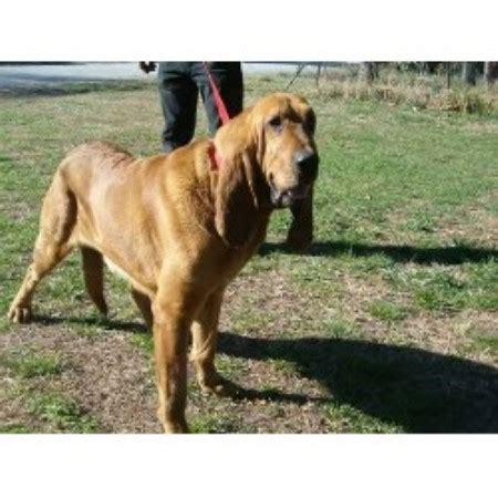 Southern Comfort Kennels by Bloodhound Breeders And Kennels Freedoglistings
